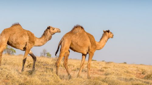Indigenous organisations collaborate on feral camel control in the central desert
