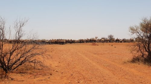 APY Lands approved feral camel management